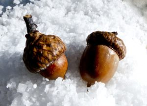 2 acorns in the snow. Photo
