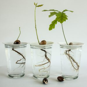 How to grow acorn with Sprout Sproutanica porcelain propagation germination plates. Process photo