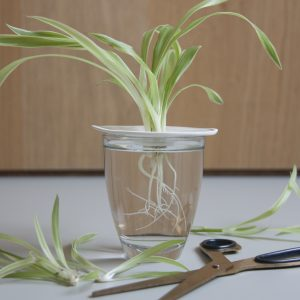 Propagation of houseplants in water through cuttings. Sprout Sproutanica. Photo