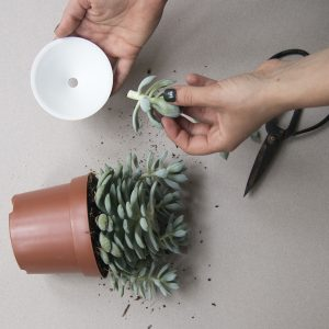 How to propagate your cactus or succulent plants. Process photo.