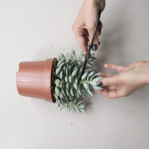 How to propagate cactus and succulent plants. Process photo.
