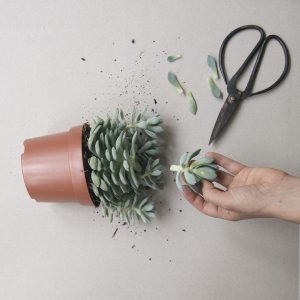 How to propagate your cactus or succulent plants. Photo