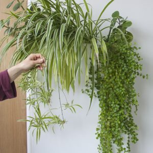 Propagation of cuttings in water - Spider plant. Photo