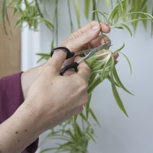 Propagation of cuttings in water - Spider plant. Step 1. Photo