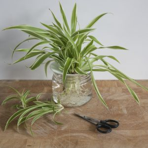 Propagation of cuttings in water - Spider plant. Step 2. Photo