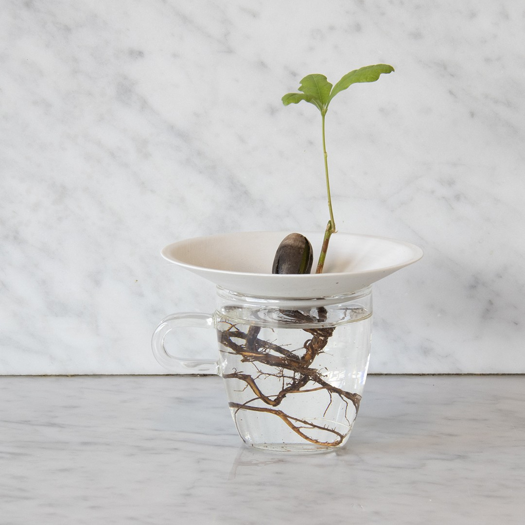 Germinated acorn growing on germination plate