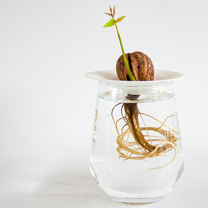 A walnut growing in water with a shoot coming out of the shell. The roots grow in water through the hole in our germination plate.