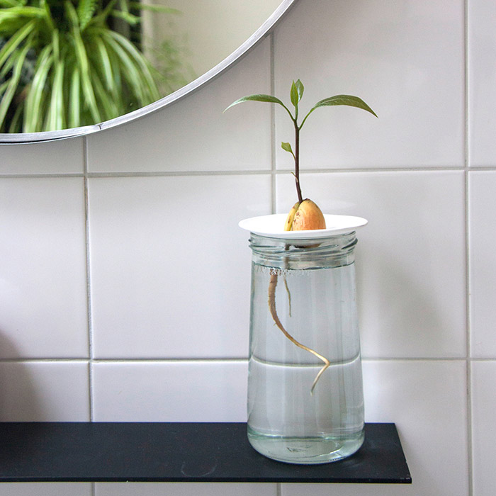 Finally succeed in growing your avocado pit with our easy instructions and our germination plates.
