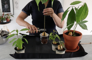 How to prune your avocado plant to encourage new growth, by avocado expert Botanopia