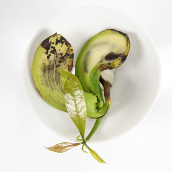 A germinated mango seed growing in water