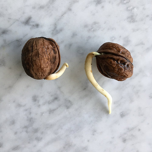 Walnut in the shell with the first root growing out