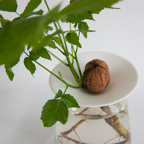 sprouted walnut growing on a germination plate by Botanopia