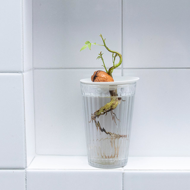 A germinated walnut growing in water on a germination plate