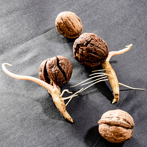 sprouted walnuts with a tap root and a young shoot by Botanopia