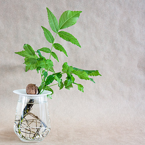 How to grow a walnut with roots and leaves, growing in water