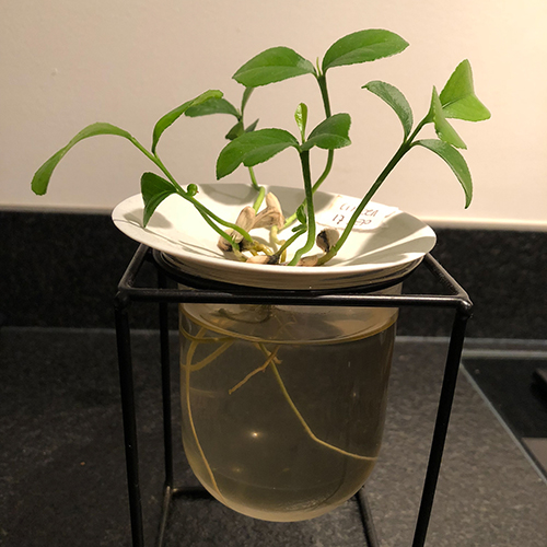 Sprout your lemon pips and citrus seeds into plants and grow them into plants