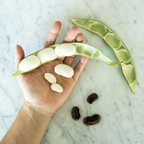 Botanopia how to germinate beans in water