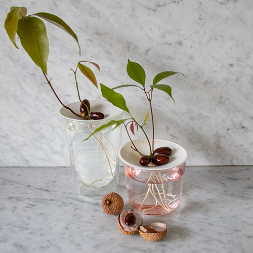 Botanopia how to grow lychee pits in water