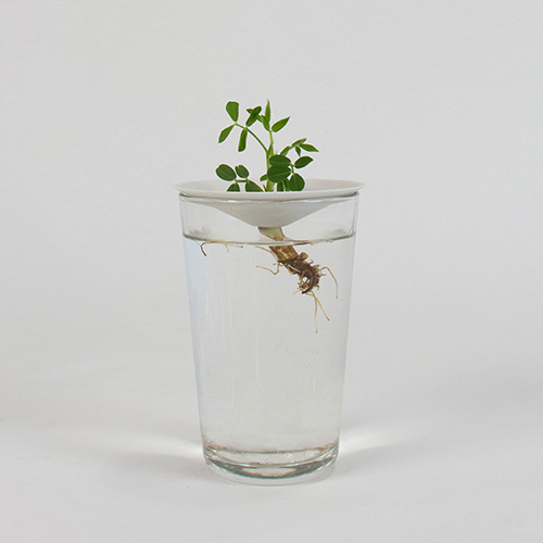 Botanopia how to grow peanuts in water