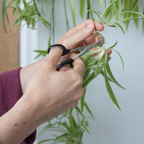Botanopia how to propagate plant cuttings in water